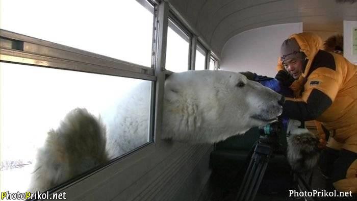 любопытный медведь белый